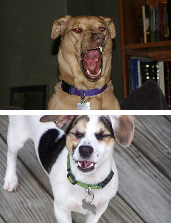dog about to sneeze