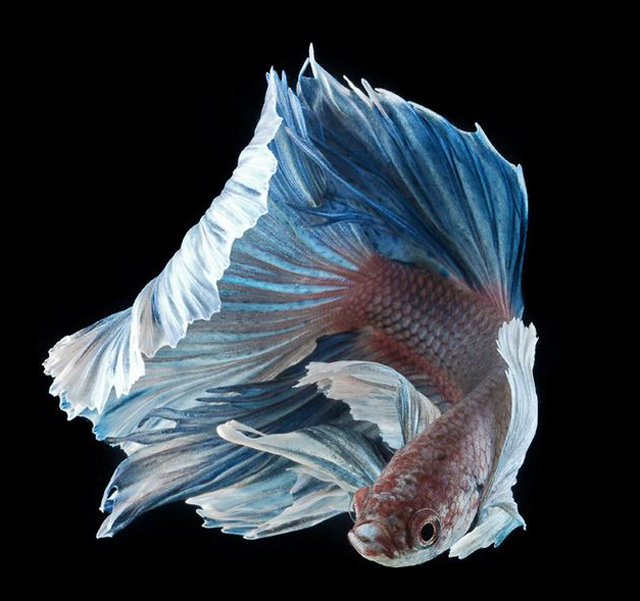 Siamese Fighting Fish Photography by Visarute Angkatavanich