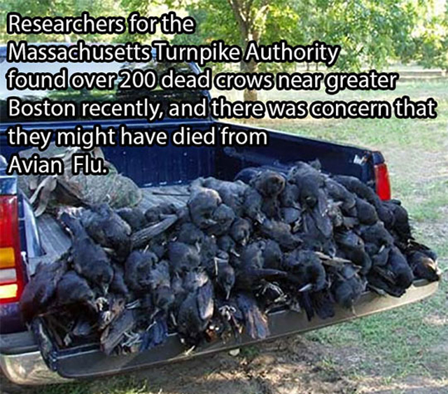 The Case Of The Murdered Crows